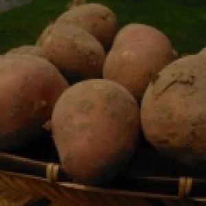 Ziemniaki Bellarossa od. p. Adamczyka
